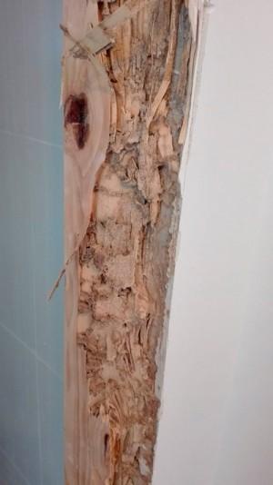Madera atacada por termitas subterraneas.