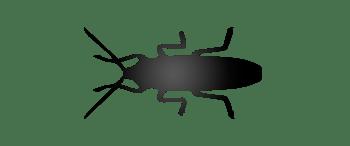 Cucaracha negra<br /> (Blatta orientalis)