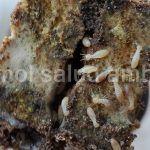 tratamiento-de-termitas-en-alicante-valencia