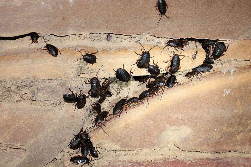 Cucarachas negras en España