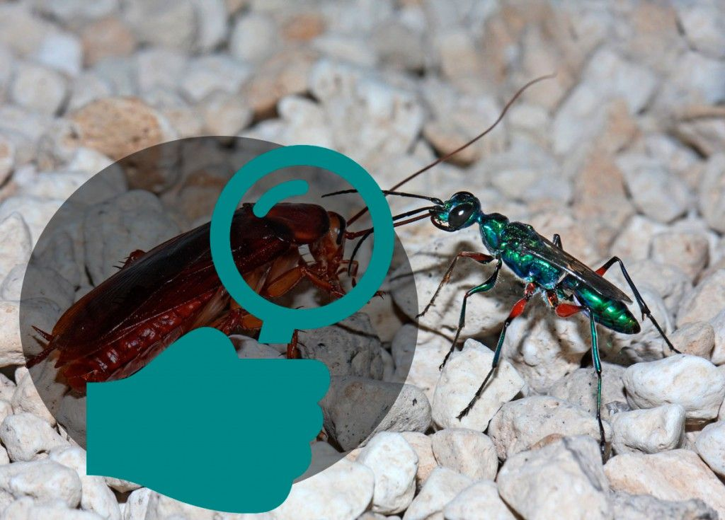 Identificar el tipo de cucaracha