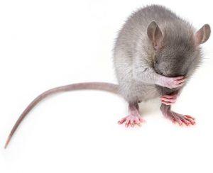 Enfermedades que pueden transmitir los roedores