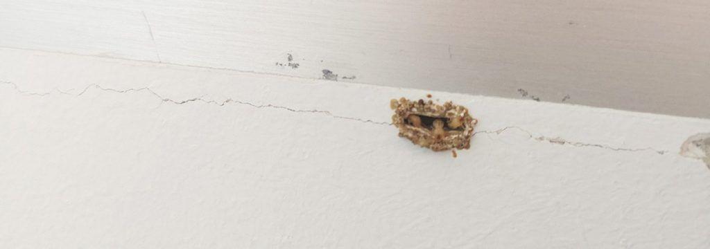 Termitas en la pared de casa