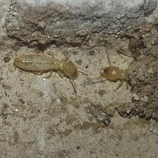 Aspecto de las termitas